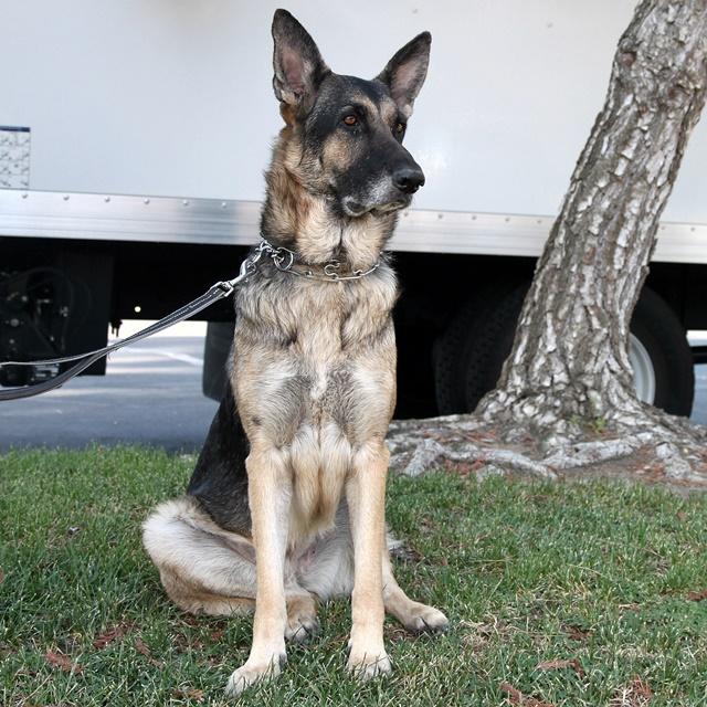 Mark's Shepherd Rescue - Ruby